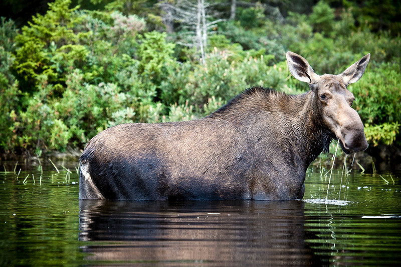Moose escaping summer heat and black flies.