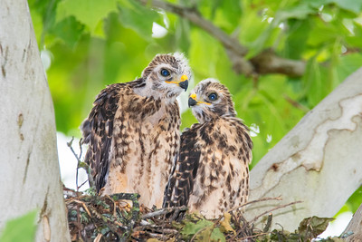 Red-shouldered Hawk Chicks