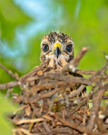 Red-shouledered Hawk Chick