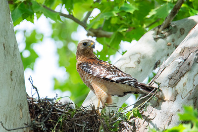 Red-shouledered Hawk family