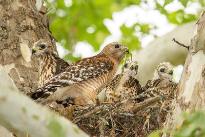 Red-shouldered Hawk family
