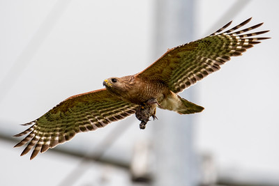 Red-shouledered Hawk