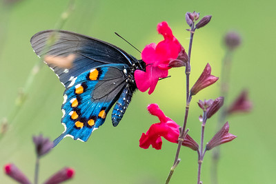 A Pipevine Swallowtail Butterfly