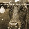 Wet Cow