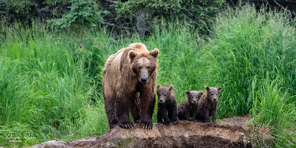 Mother Bear & Her Three Cubs