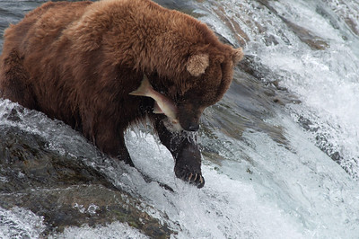Alaskan brown bear catching a salmon in Brooks Falls Katmai National Park