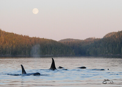 "Endangered ""Southern Resident"" Killer Whales by moonlight.  Members of the L-Pod of inshore fish-eating killer whales passing by NE Vancouver Island."