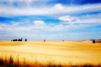 Velvet Fields of Wheat Washington