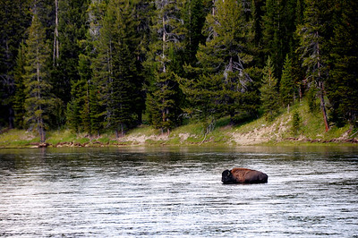 A lone buffalo, Yellowstone