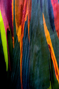 Colorful patterns on a Rainbow Eucalyptus, Maui