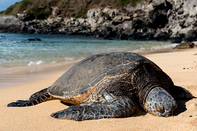 Sleeping Turtle, Maui