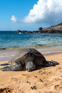 Sleeping turtle with ocean backdrop, Maui