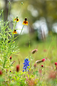 Wildflowers, Pearland, Texas
