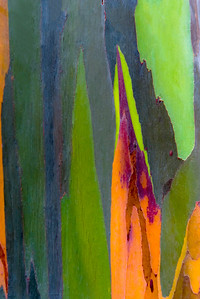 Colorful shapes on a Rainbow Eucalypus, Maui