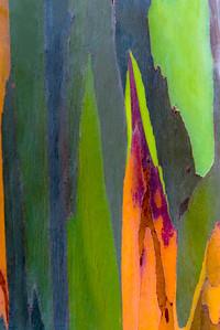 Colorful shapes on a Rainbow Eucalypus, Maui