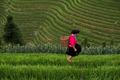 A minority Yao woman walks through rows of lush,paddy fields at Longji Rice terraces, a 2 1/2 hour drive from Guilin.  The women from this area  let their hair grow very long.  Their hairstyle signifies marital status. Girls pack all of their hair in a cloth while married women pack most of their hair in a cloth but leave some out in a bun.
