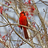 Red Cardinal <br /> Recommended Print Size = 8x10 or 8x12<br /> Maximum suggested print size 12x18