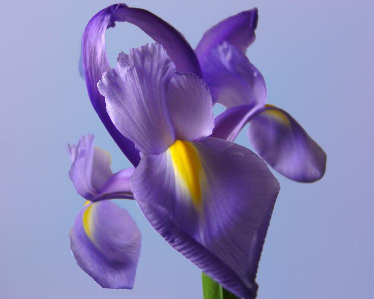 Iris Front