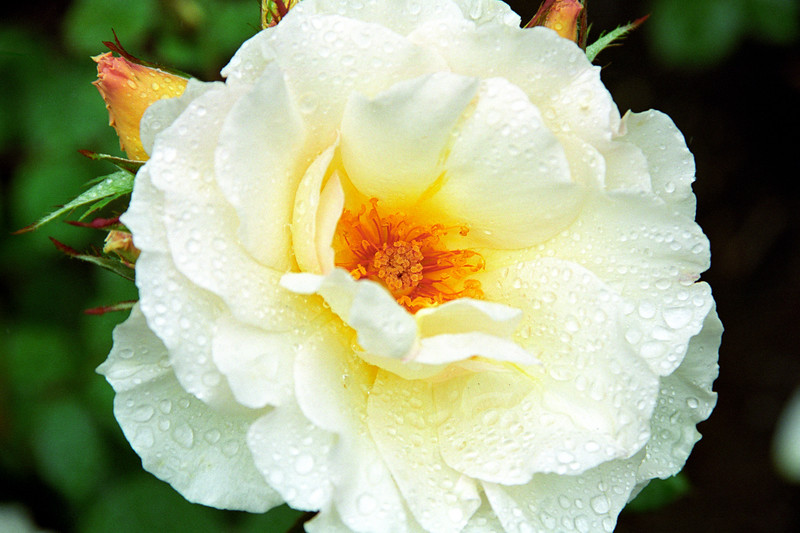 White Rose with Dew 1