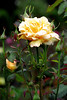 Yellow Rose with Buds 2