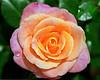 Pink-Peach Rose