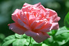 Pink Rose with Dew 1