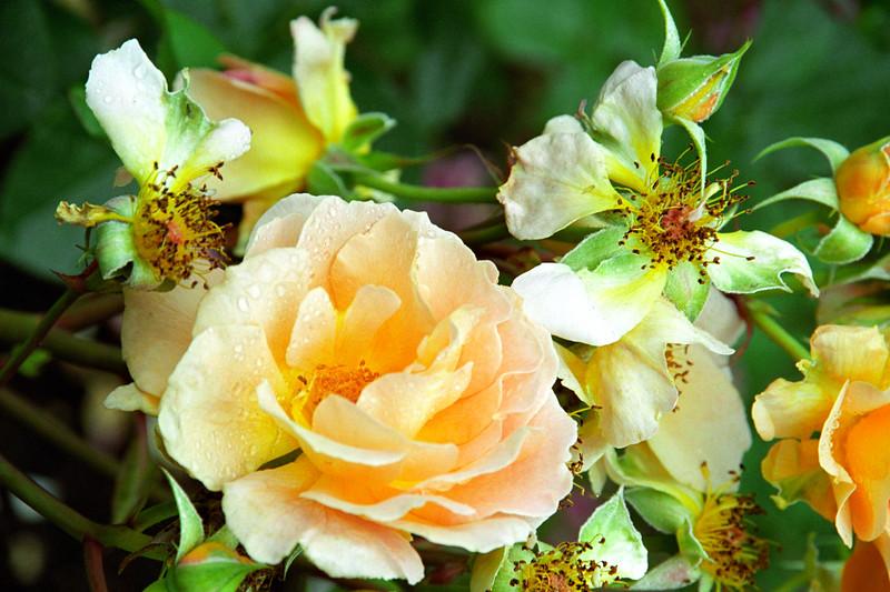 Peach Rose Group