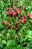 Red Rose Mini Buds
