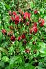 Red Rose Mini Buds