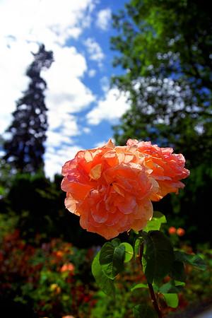 Peach Roses in Garden