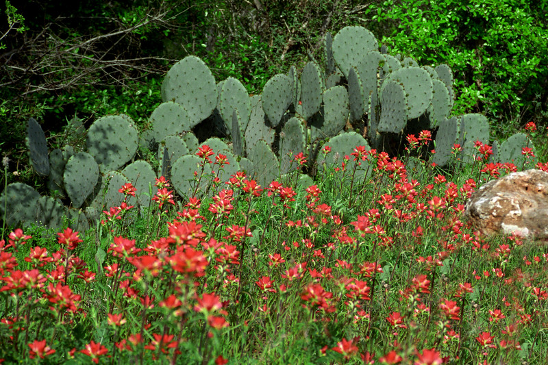 Texas - Austin - Cactus & Flowers 1