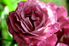 Fuschia Rose 2