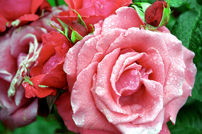 Pink-Red Roses with Dew