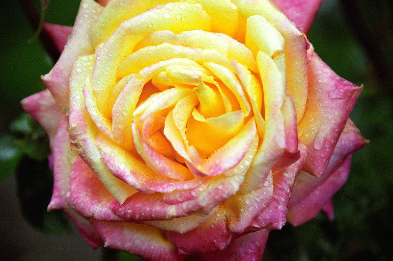 Pink-Yellow Rose with Dew 1