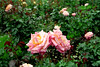 Pink-White Rose Pair in Garden