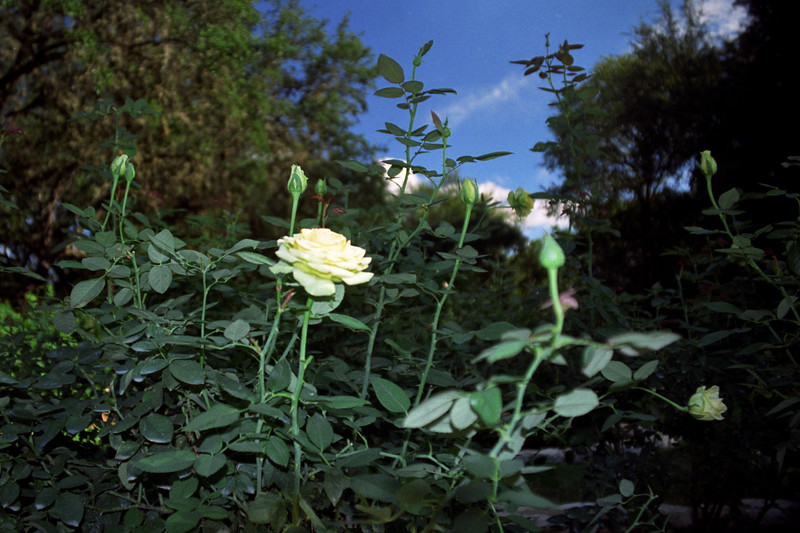 White Rose, Blue Sky