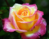 Pink-Yellow Rose with Dew 3