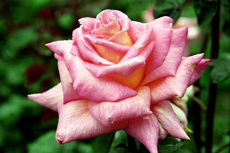 Pink Rose with Dew 4