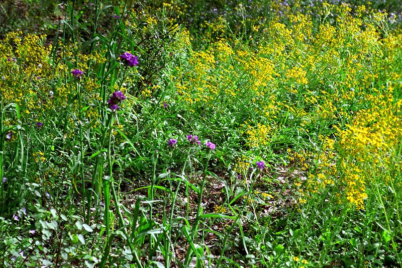 Texas - Austin - Wildflowers 8
