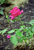 Fuschia Rose