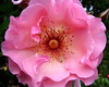Pink Rose Center