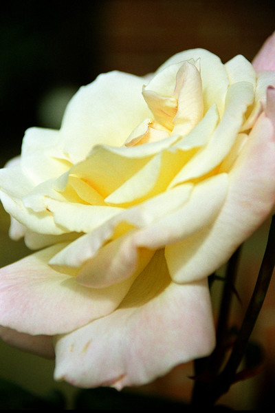 Yellow Rose Side View