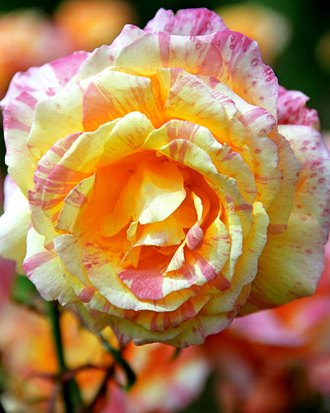 Pink-White-Yellow Rose