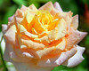 Peach-Yellow Rose 2