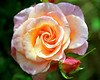 Pink-Peach Rose with Bud