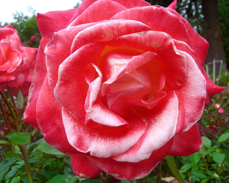 Pink-White Rose 2