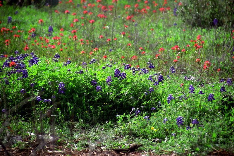 Texas - Austin - Wildflowers 3