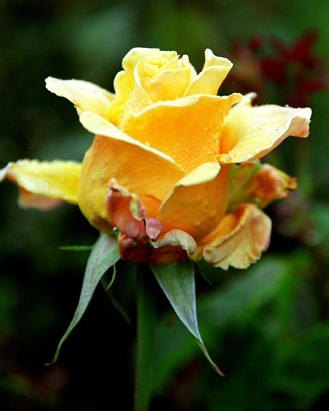 Yellow Rose with Dew 2
