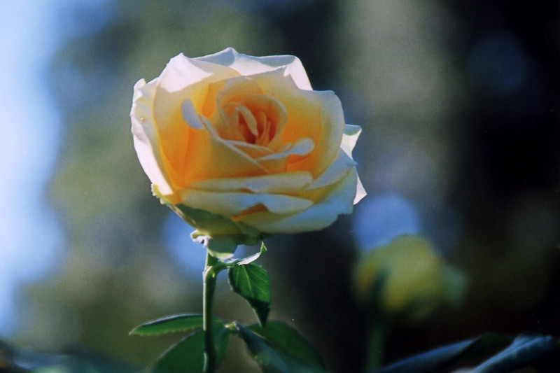 Yellow Translucent Rose