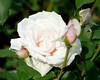 White Rose with Buds